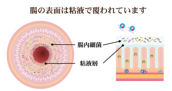 腸内細菌は粘液層に棲んでいる_グリーンポプリ