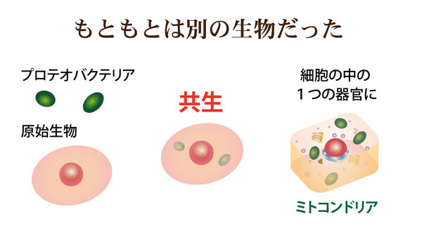 共生ミトコンドリアとプロテオバクテリア