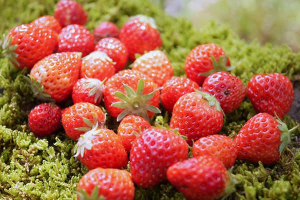 自家栽培のイチゴ章姫