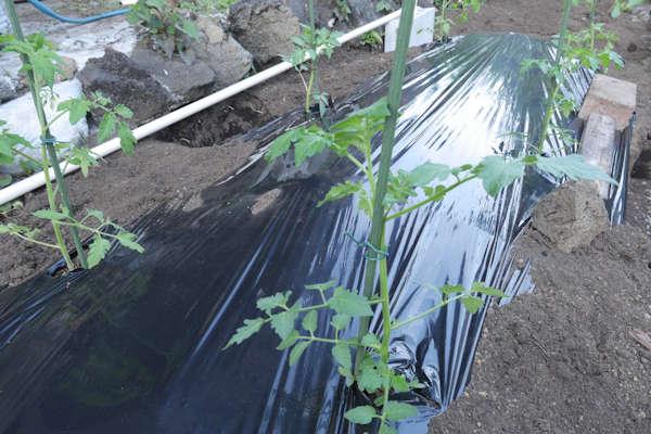マルチをかけてトマトを植える