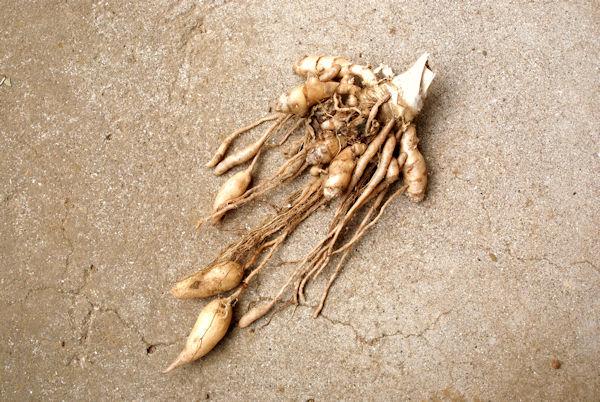 芋のように垂れ下がった紡錘根を川玉金という 薬草画像 グリーンポプリ