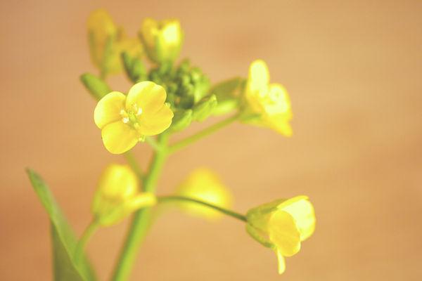コマツナの花 グリーンポプリ野菜画像