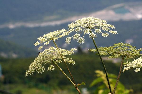 ミヤマトウキの花 薬草画像 グリーンポプリ