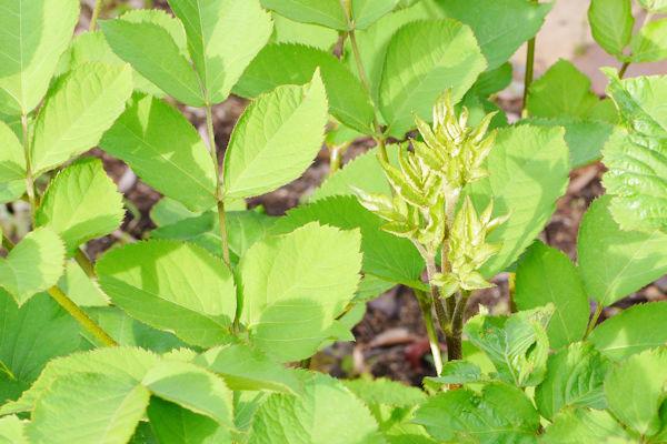 ウドの新芽を山菜として食す 薬草画像 グリーンポプリ