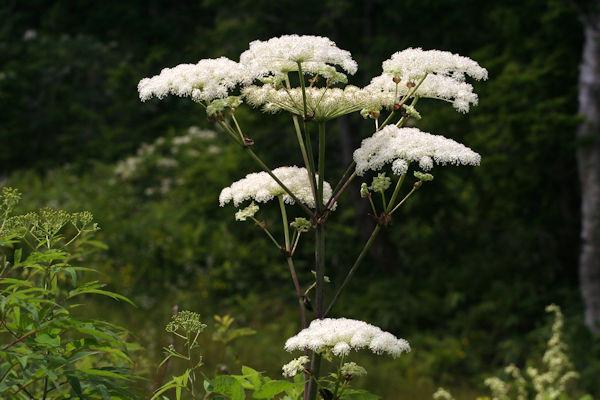 シシウド(独活)の花 薬草画像 グリーンポプリ
