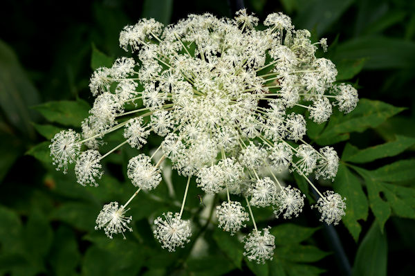 シシウドの花