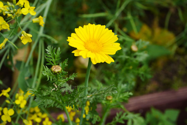 春菊の花 黄花