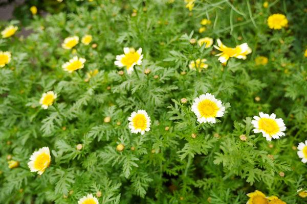 春菊のお花畑